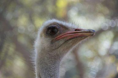 De dierentuin van Tana is niet zo groot, vooral dieren uit Madagascar zelf, maar een paar van daarbuiten, zoals deze struisvogel.