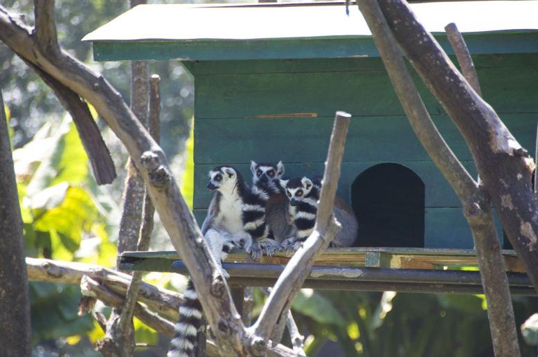 Er zijn uiteraard veel lemuren te zien.