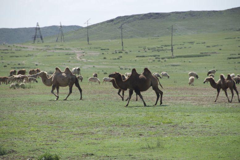 Een gemengde kudde met schapen, geiten, koeien... en kamelen!