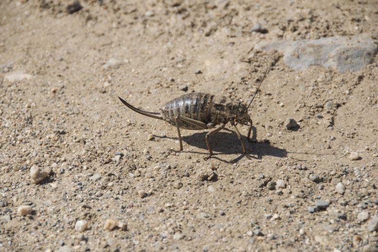 Wat een joekel van een beest deze Deracantha onos, of голио (de Mongoolse naam)