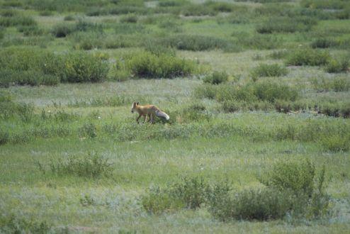 Een vosje