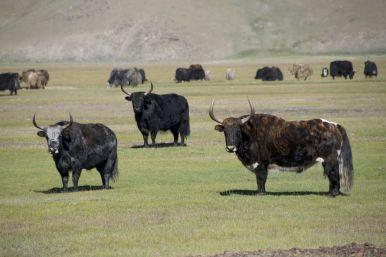 De yaks lijken wel steeds groter te worden...