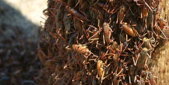 A. simplex swarm, Nevada