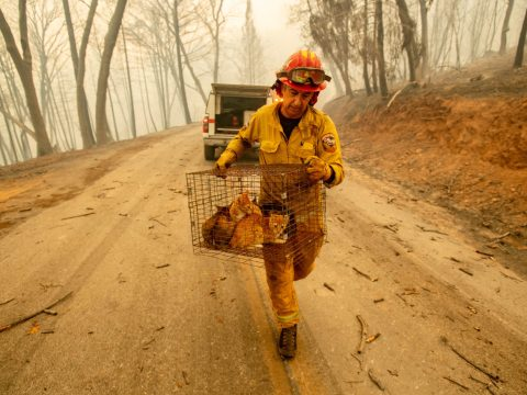 Cal Fire Capt. Steve Millosovich carries a cage of cats while battling the Camp Fire on Nov. 9, 2018. He said the cage fell from the bed of an evacuee's pickup truck. (Photo/Courtesy Noah Berger-Associated Press)