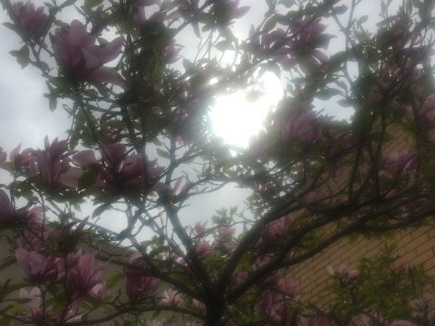 The light at top right shining through a magnolia tree appears heart-shaped. (DAPHNE WHITE)