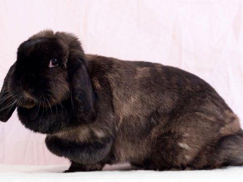 A very cute brown bunny rabbit