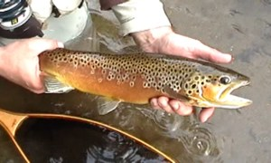 Brown trout caught while using French Nymphing technique
