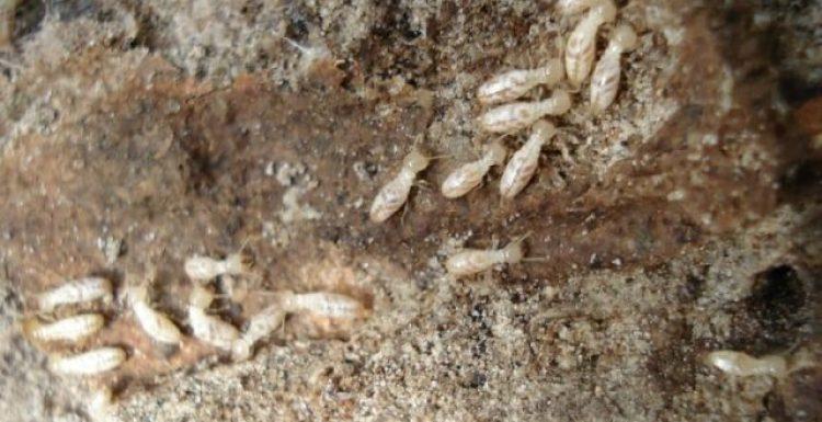شركة مكافحة النمل الأبيض بمكه و طرق الوقاية منه