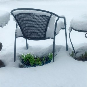 Day Lily sprouts sheltered under a chair covered with snow.