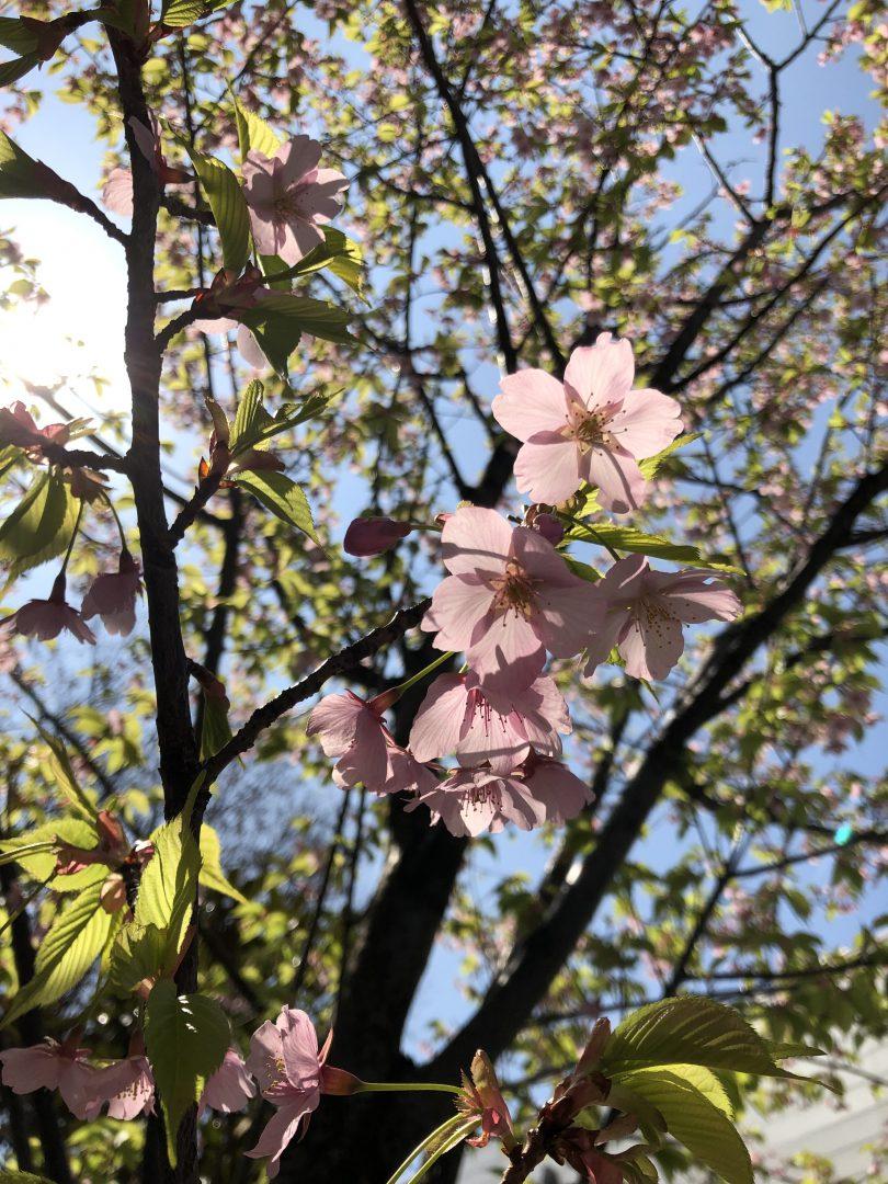 御茶ノ水の桜