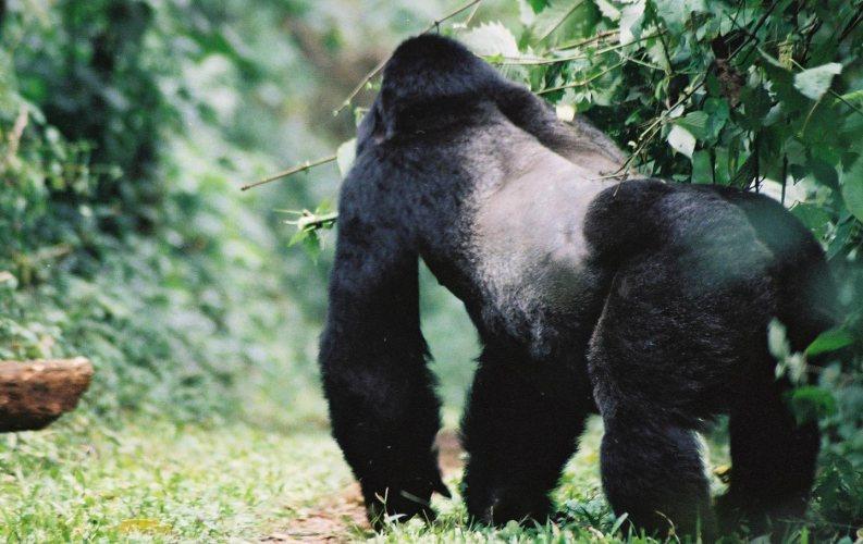 The Captivating encounter with mountain gorillas