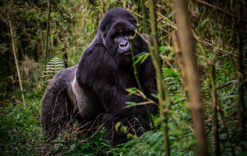 how to see mountain gorillas in Uganda and Rwanda