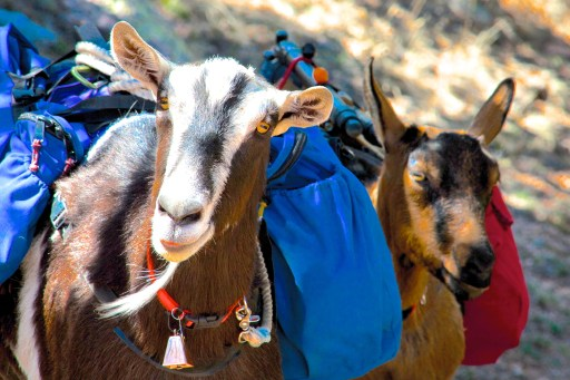 Rooster and Peanut, the most famous SOTA Goats in the entire world