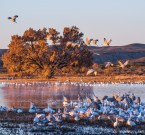 Sunset light illuminates cranes and geese at Bosque del Apache.