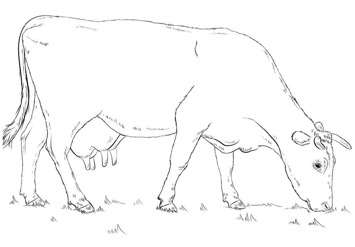 Cow Coloring Pages Grazing