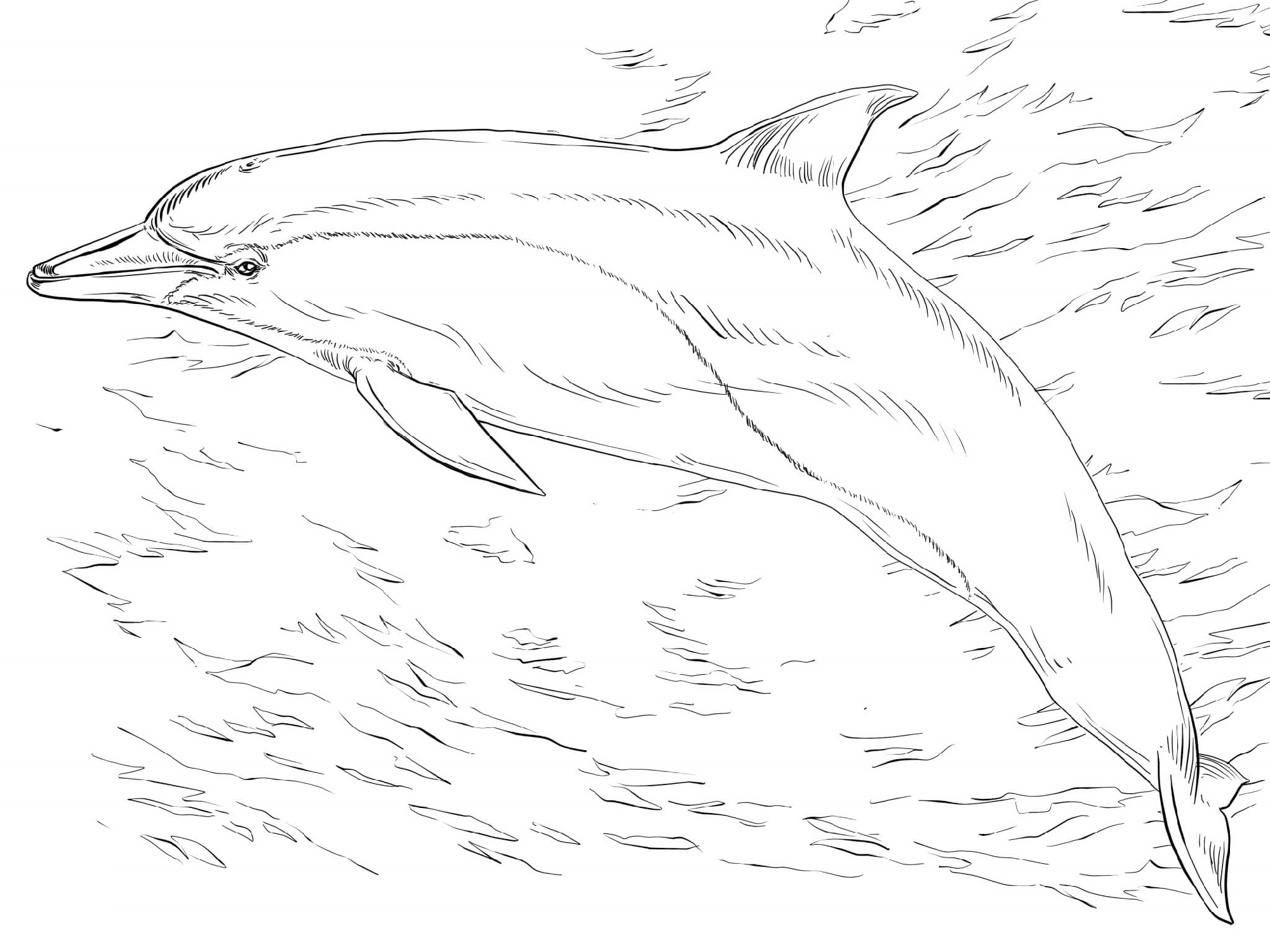 Common Dolphin Coloring Pages K5 Worksheets