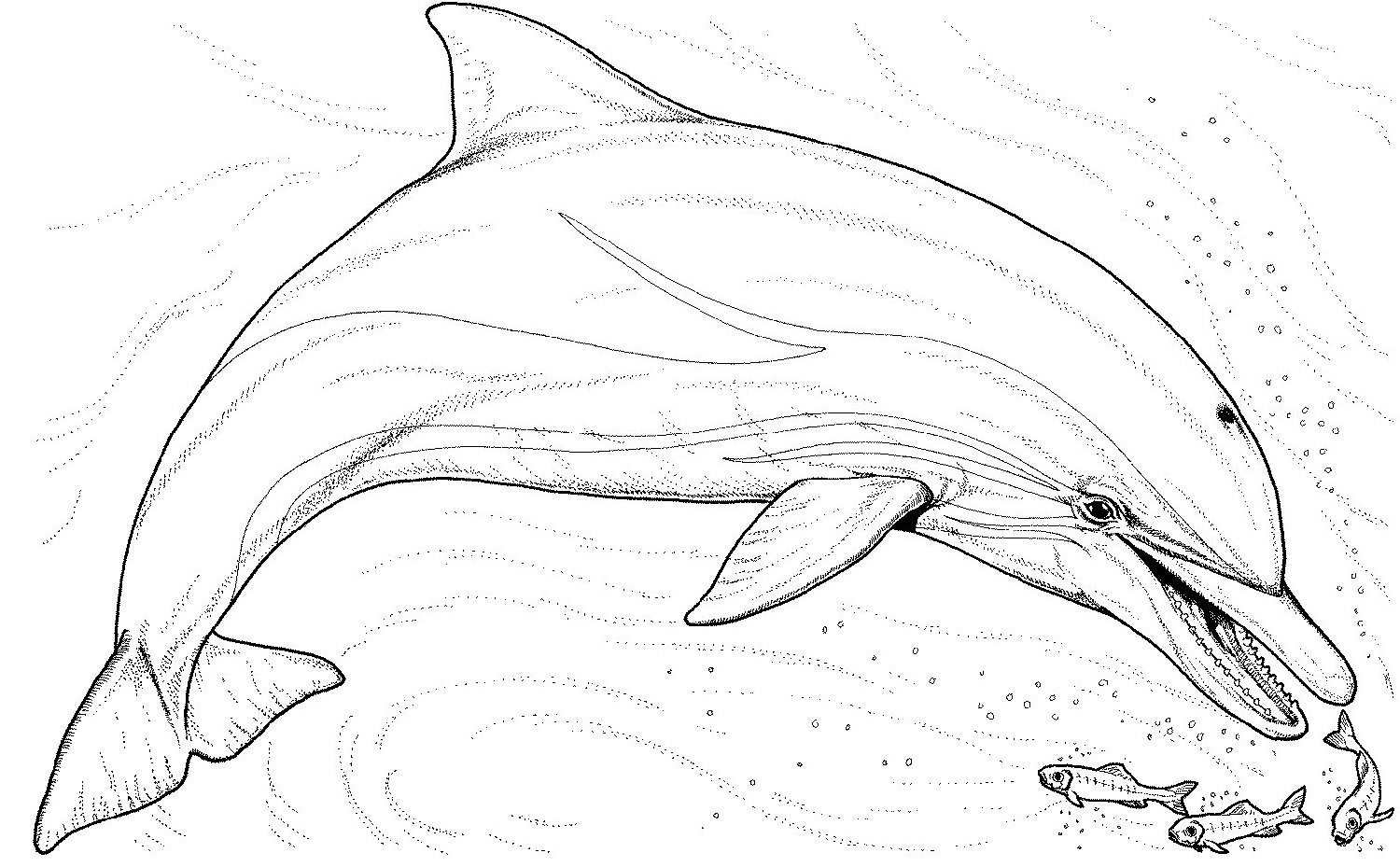 Dolphin Coloring Pages Free K5 Worksheets