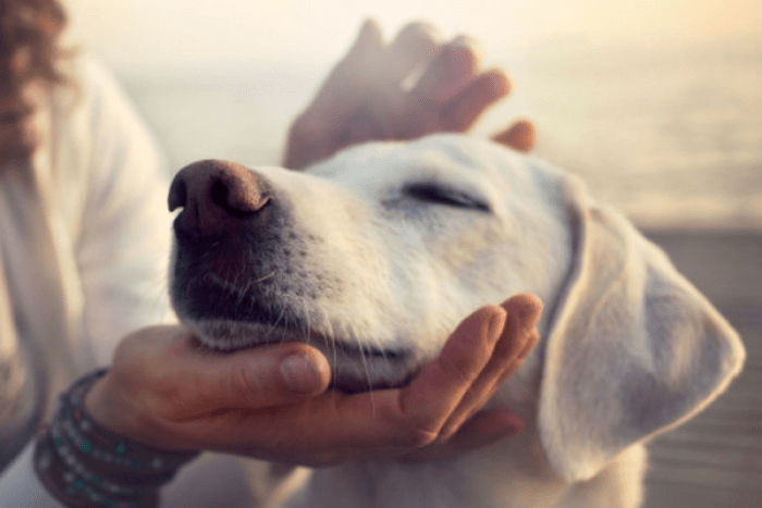 CBD Oil for dogs. CBD for dogs. cbd for pets. cbd oil benefits.