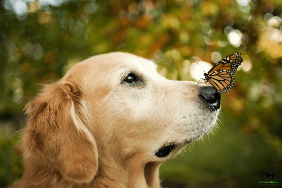 CBD for dogs pain. CBD oil for dogs pain. CBD oil for dogs joint pain. CBD for dogs pain relief.