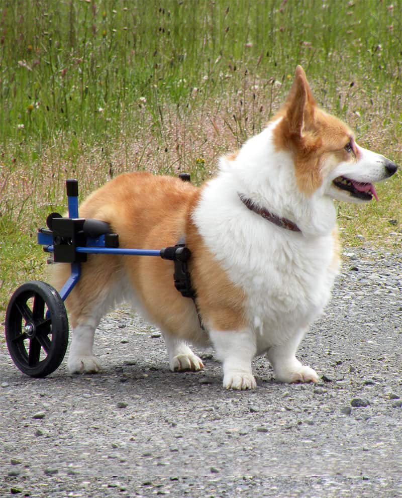 wheelchair dog red folding chairs using rear legs in a k9 carts