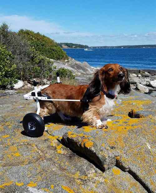Dog Wheelchair Diy In Beautiful Dachshund Wheelchair