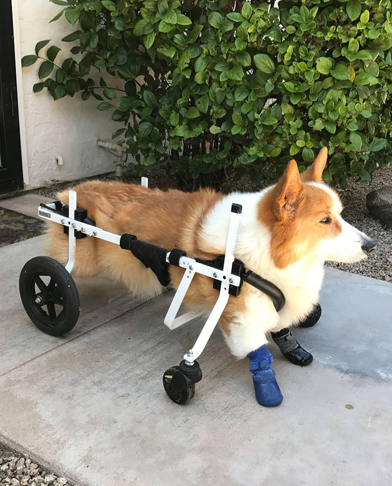 wheelchair dog best back support office chair uk full by k9 carts custom made in the usa