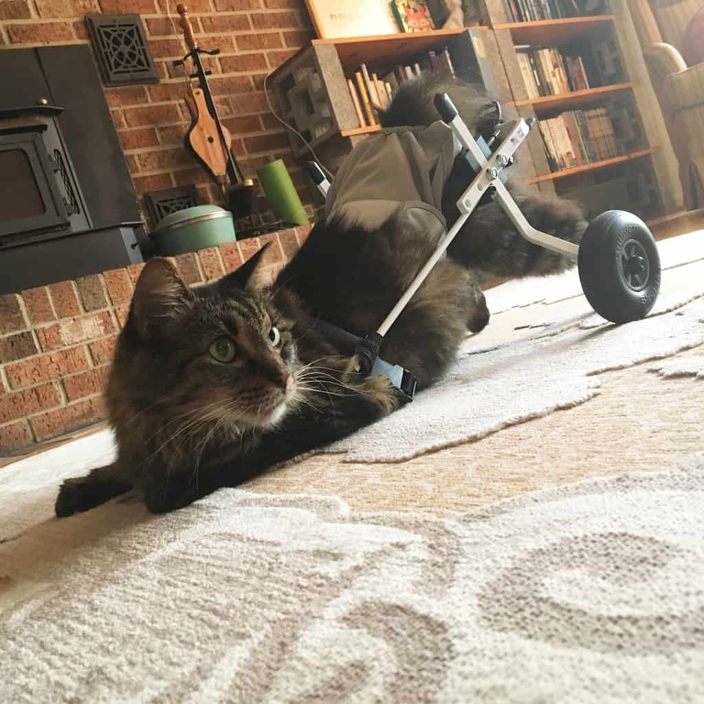 wheelchair for cats star trek captains chair 2 cat by k9 carts the pet mobility experts