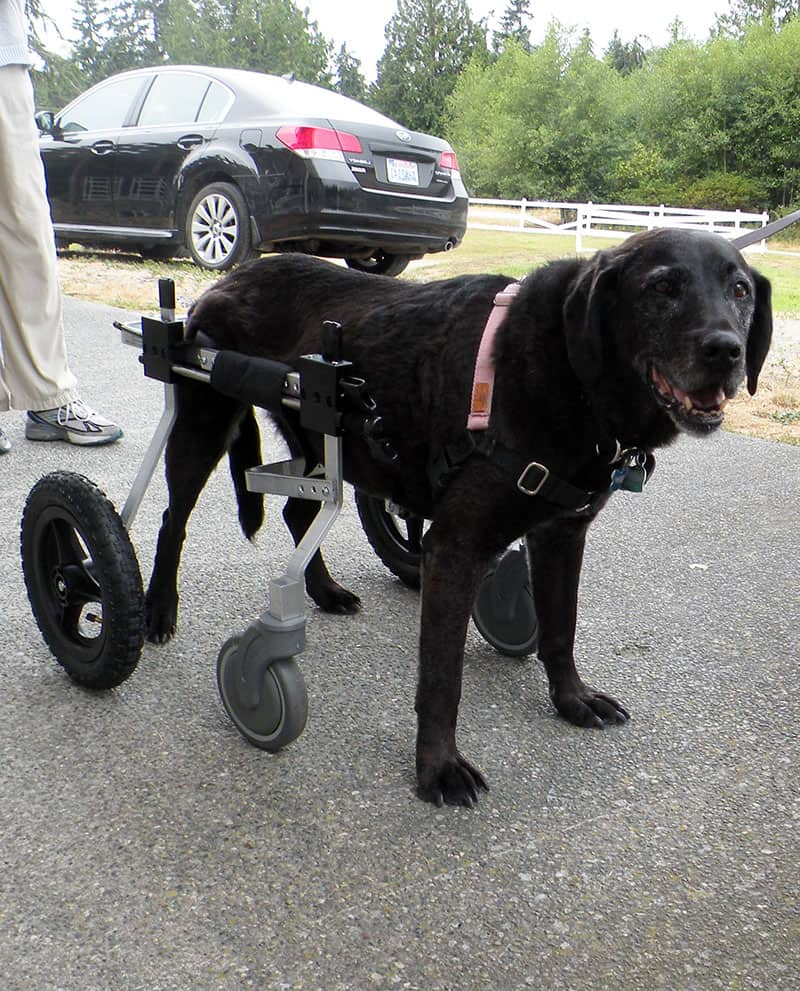 wheelchair dog clamp on high chair full support rental by k9 carts