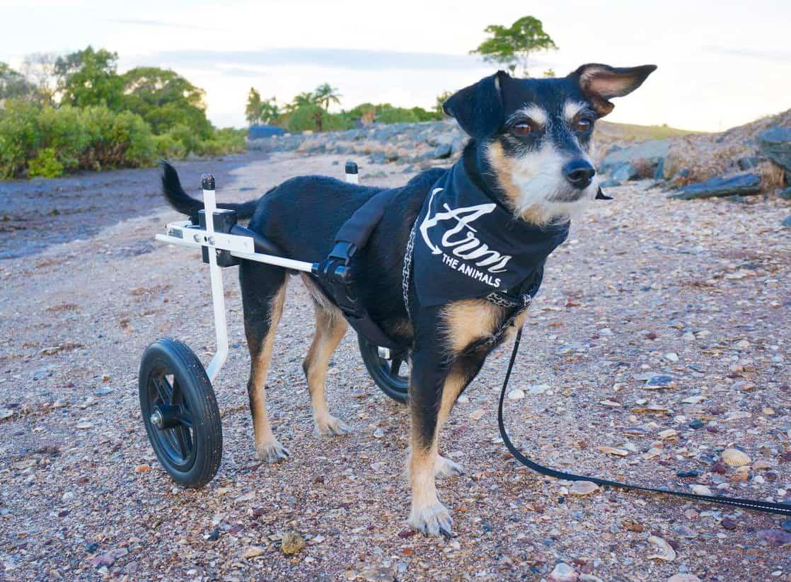 wheelchair dog outdoor recliner chairs australia k9 carts original since 1961 made usa