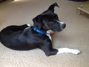 rescue dog training Arlington VA