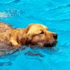 dog-swimming
