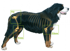Canine Osteoarthritis - What Is It?