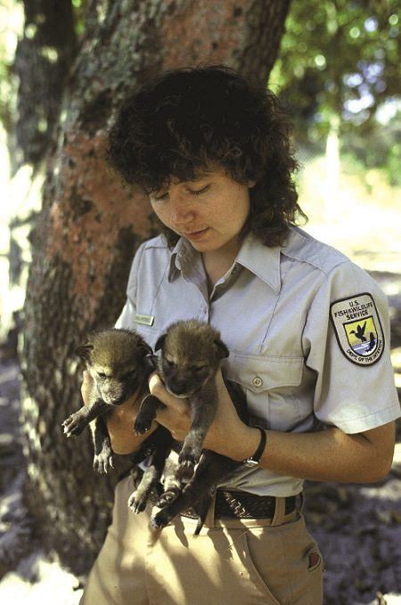 FWS Employee holds Endangered Red Wolf Pups