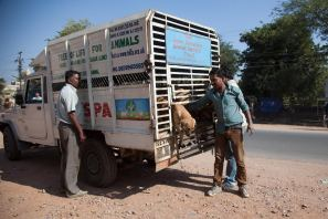 TOLFA releasing healthy dogs after treatment, sterilization and vaccination
