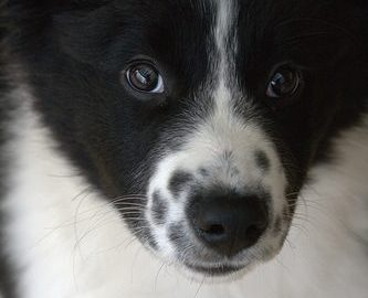 3667397401_ed8ee32d81_border-collie-puppy