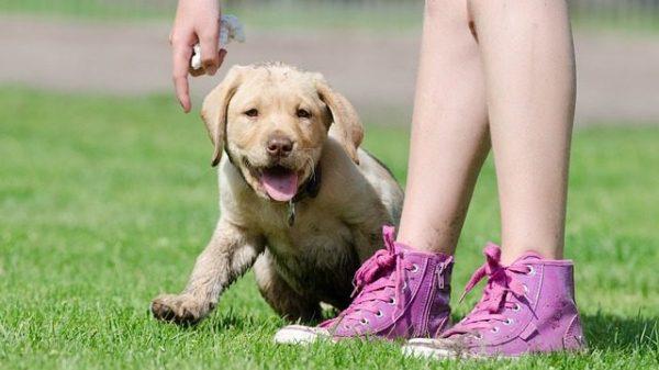 7 Reasons Labradors Rule