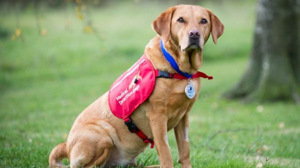 Meet the Labrador Who Helped Us Learn Dogs Could Detect Cancer
