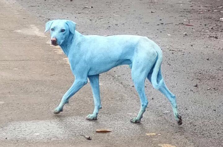 Mumbai?s Stray Dogs Turn Blue