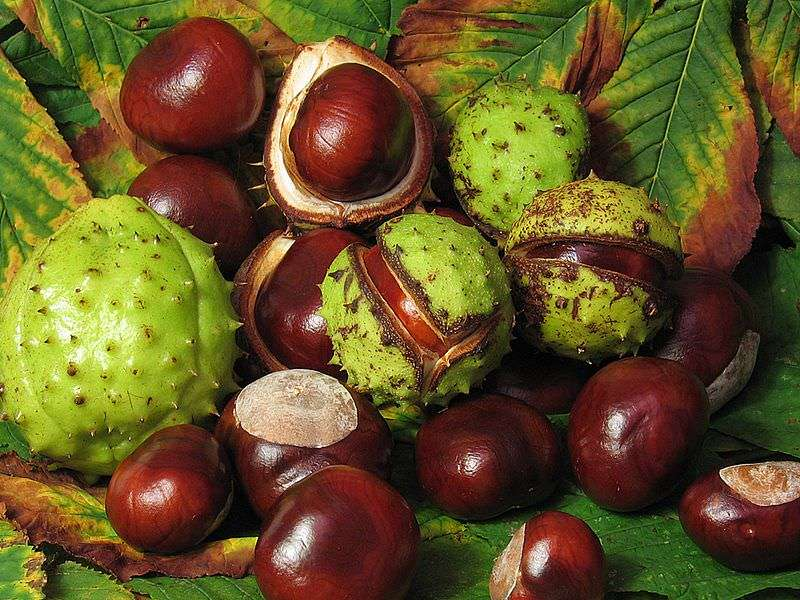 Conkers Poisonous Dogs
