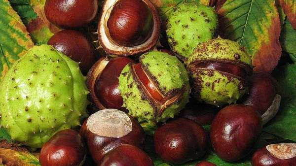 Are Conkers Poisonous To Dogs?