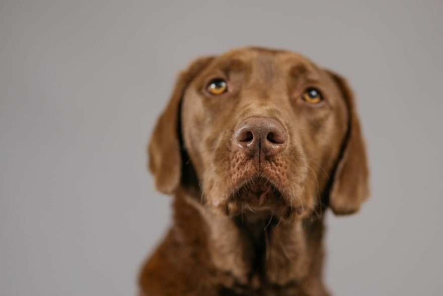The Amazing, Uplifting Story of Charlie Brown the Chocolate Labrador