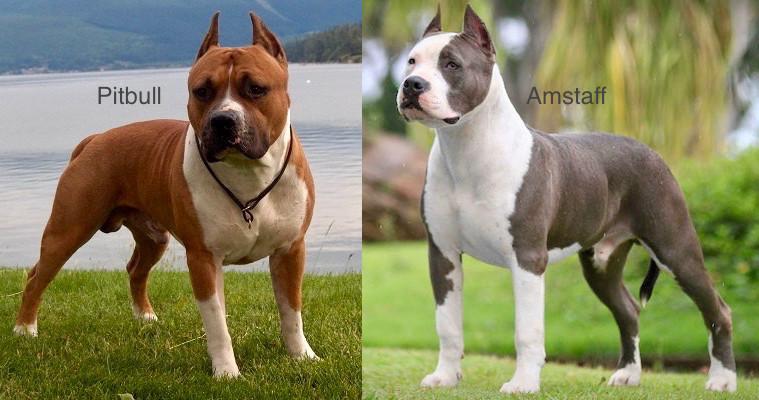 pitbull american pit bull