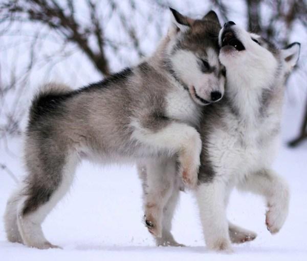 Alaskan Malamute Dog Breed Information and Images K9RL