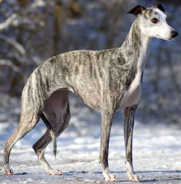 20 Dog Breeds Whippet Pictures And Ideas On Carver Museum