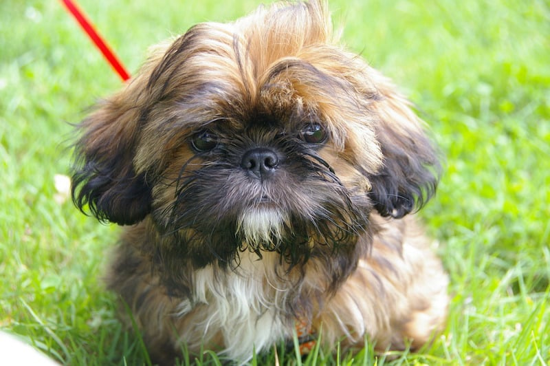 high point shih tzu the shih tzu what to expect of this dog breed k9 web 2387