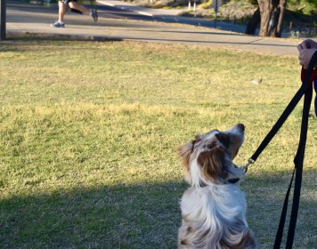 Mugsy resisting the greatest temptation he faces by holding a Sit, Stay at the park when a runner runs by.