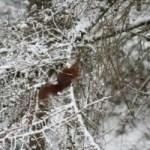 Ardilla por las ramas nevadas