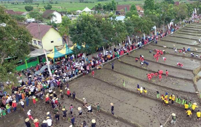 Pelajar,-pejabat,-petani,-dan-kalangan-pemuda-turun-di-sawah-dalam-Festival-Padi-yang-dipusatkan-di-Sumbergondo,-Glenmore,-kemarin.-Bupati