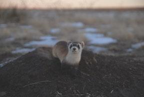 Ks Black-footed ferret