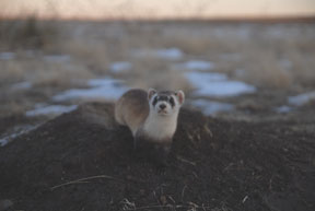 Ks Black-footed ferret